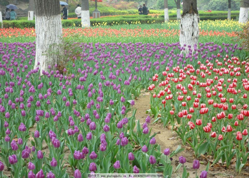 郁金香 鲜花 花卉 花朵 鲜艳 摄影 生物世界 花草