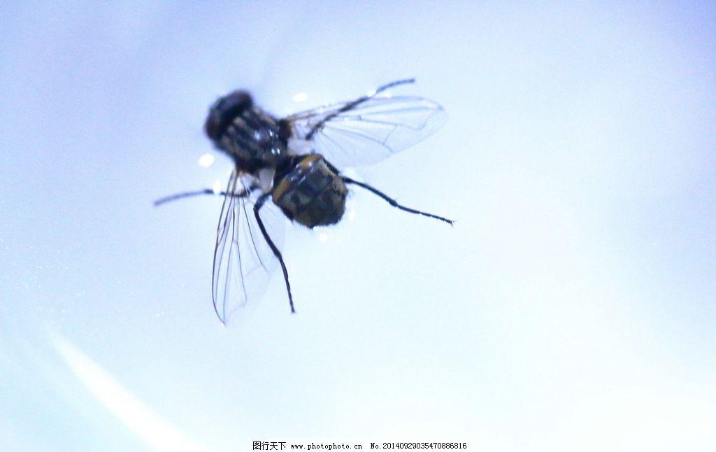 水 苍蝇写真 苍蝇 红头苍蝇 昆虫 害虫 美人蕉 苍蝇摄影 高清苍蝇